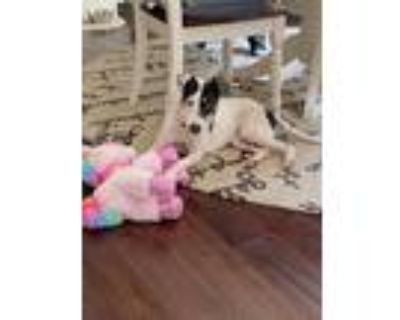 Adopt Roxy a Gray/Silver/Salt & Pepper - with White Terrier (Unknown Type