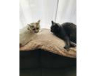 Adopt Luka a Gray or Blue American Shorthair / Mixed (short coat) cat in