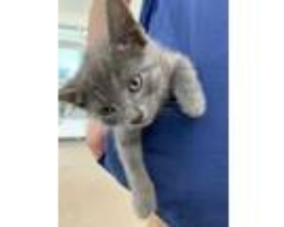 Adopt Kitten 2 a Gray or Blue Domestic Shorthair / Domestic Shorthair / Mixed