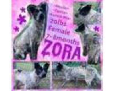 Adopt Zora a Australian Cattle Dog / Blue Heeler, Terrier