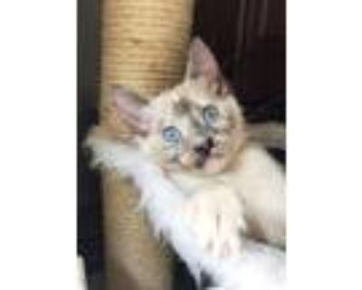 Wisteria, Siamese For Adoption In Fort Worth, Texas