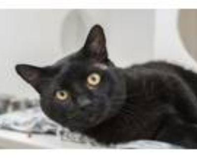 Adopt Evan Peters a Domestic Short Hair