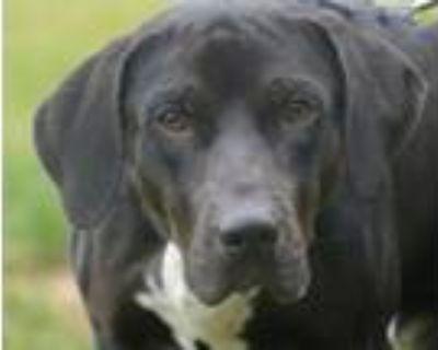 Adopt COOLIO a Labrador Retriever, Mixed Breed