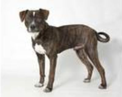 Adopt FRANKLIN a Brindle - with White American Pit Bull Terrier / Catahoula