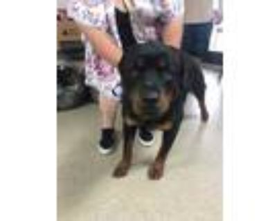 Adopt 47826864 a Black Rottweiler / Mixed dog in Fort Worth, TX (31355527)