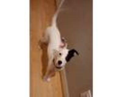 Adopt Mia a White - with Black Jack Russell Terrier / Mixed dog in Cumming
