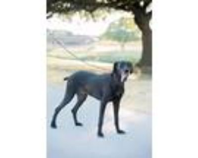 Adopt Razoo a Black Great Dane / Greyhound / Mixed dog in Fort Worth