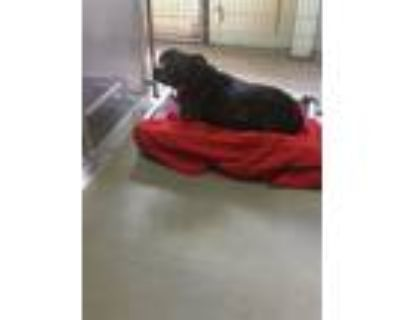 Adopt TATER a Staffordshire Bull Terrier
