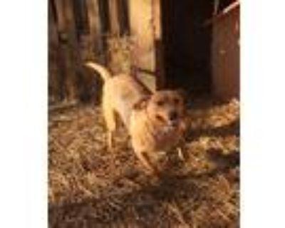 Adopt JuJu Mac a Brown/Chocolate - with Black Hound (Unknown Type) / Mixed dog