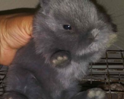 Netherland Dwarf Rabbits Bunnies Dwarfs Bunny Rabbit