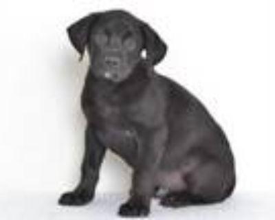 Adopt A591027 a Labrador Retriever, Mixed Breed