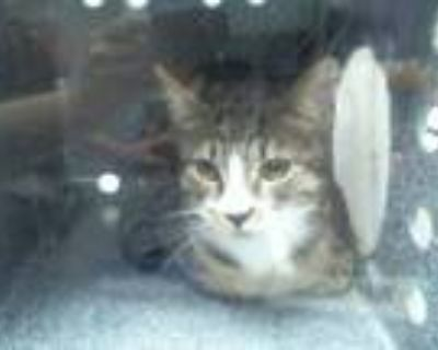 Adopt DRAGSTER a Domestic Short Hair