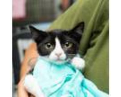 Adopt Patsy Cline a Domestic Short Hair
