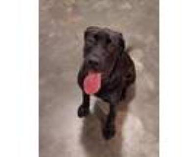 Adopt (Found) Gadget a Black Labrador Retriever / Mixed dog in Cabot