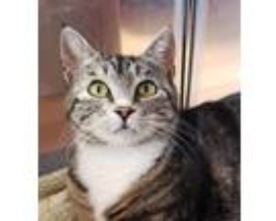 Adopt Brooke a Domestic Shorthair / Mixed cat in Sherwood, OR (32110941)