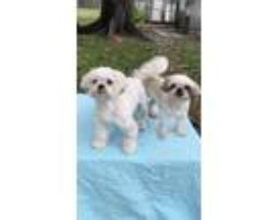 Adopt Chanel & Jaykie a Shih Tzu / Mixed dog in Davie, FL (32394809)