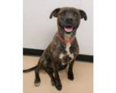 Adopt Charlie a Brindle American Pit Bull Terrier / Boxer / Mixed dog in