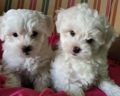 Two gorgeous Maltese puppies looking for Re-homing