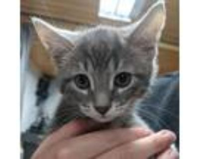 Adopt Ra a Gray or Blue Domestic Shorthair / Mixed cat in Northbrook