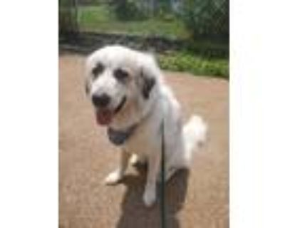 Adopt Cloudy a White - with Red, Golden, Orange or Chestnut Great Pyrenees /