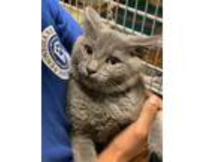 Adopt Metro a Gray or Blue Domestic Shorthair / Domestic Shorthair / Mixed cat