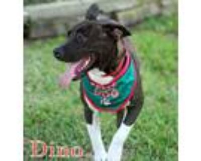 Adopt Dino a Staffordshire Bull Terrier, American Staffordshire Terrier