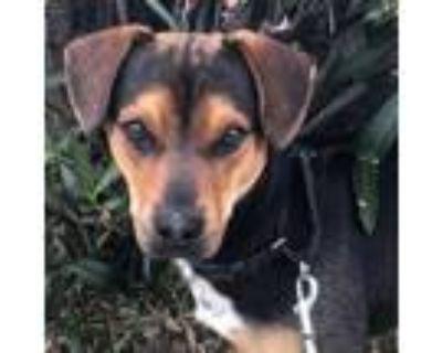 Adopt Odin a Black Beagle / Shiba Inu dog in Tempe, AZ (31105035)