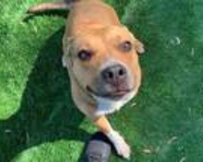 Adopt PENNY a Pit Bull Terrier, Australian Cattle Dog / Blue Heeler