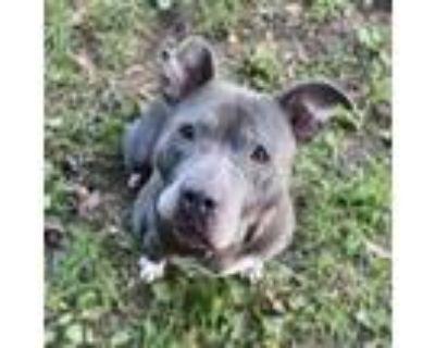 Adopt Nino a Gray/Blue/Silver/Salt & Pepper American Staffordshire Terrier /