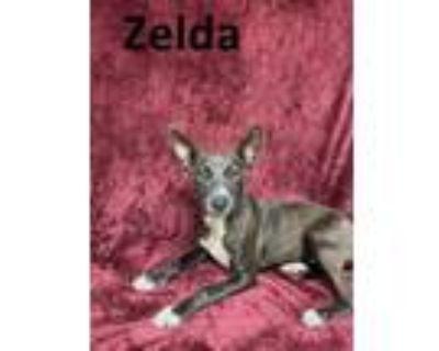 Adopt ZELDA a Australian Cattle Dog / Blue Heeler, Mixed Breed