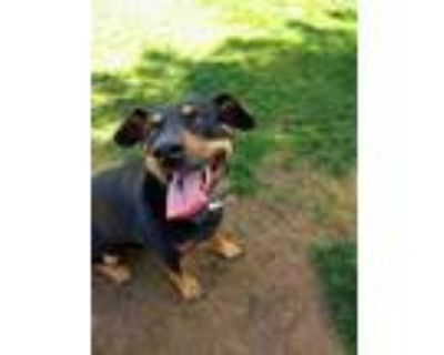 Adopt DAISY 13 a Black - with White Australian Kelpie / Mixed dog in Chandler
