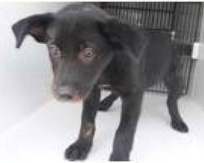 Adopt a Black Labrador Retriever / Mixed dog in Houston, TX (32132417)