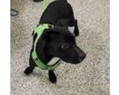 Adopt Juntao a Labrador Retriever, Basset Hound