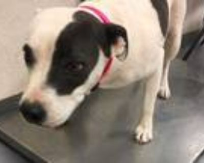 Adopt 48033303 a White American Pit Bull Terrier / Mixed dog in Los Lunas