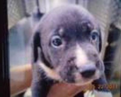 Adopt 47823891 a Gray/Blue/Silver/Salt & Pepper American Pit Bull Terrier /
