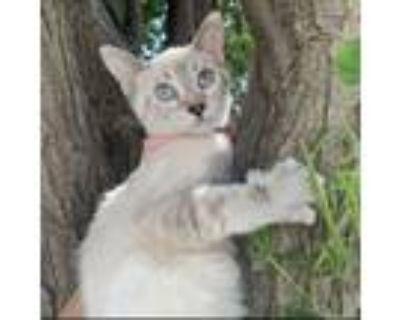 Adopt Aurora a Siamese, Tabby