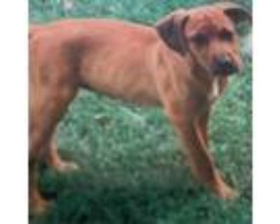 Adopt Lisa a Tan/Yellow/Fawn Hound (Unknown Type) / Mixed dog in West Chester