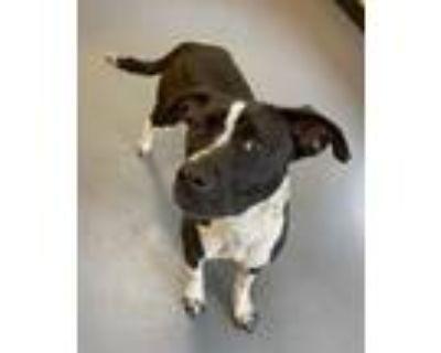 Adopt 21-06-1421 Piper a Labrador Retriever