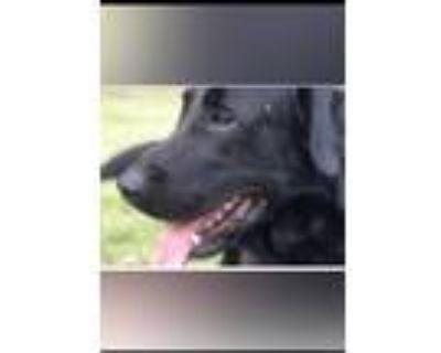 Adopt Cash a Black Labrador Retriever / Labrador Retriever / Mixed dog in