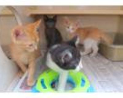 Adopt Robin, Chester, Oreo and Pewter a Domestic Shorthair / Mixed cat in Homer