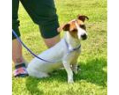 Chloe, Jack Russell Terrier For Adoption In New Iberia, Louisiana