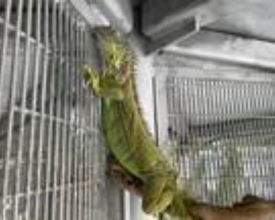 Adopt BILLY a Iguana / Mixed reptile, amphibian, and/or fish in Los Angeles