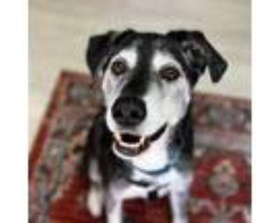 Adopt Luke a Labrador Retriever, Husky