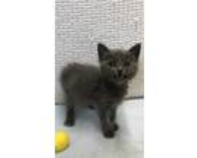 Adopt 47900241 a Gray or Blue Domestic Shorthair / Domestic Shorthair / Mixed