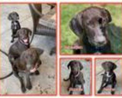 Adopt Sebastian, Sasha, Sophie a Labrador Retriever, Hound