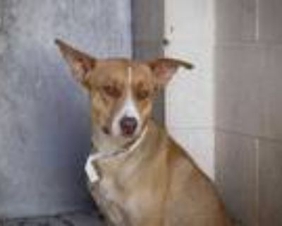 Adopt JEFFERSON a Brown/Chocolate - with White Labrador Retriever / Mixed dog in