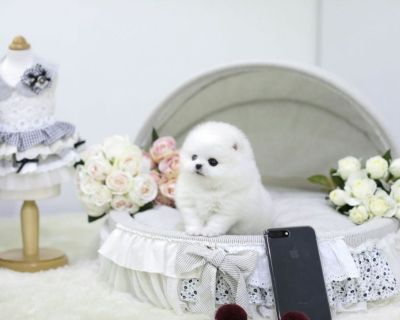 Wanted: teacup pomerian white female