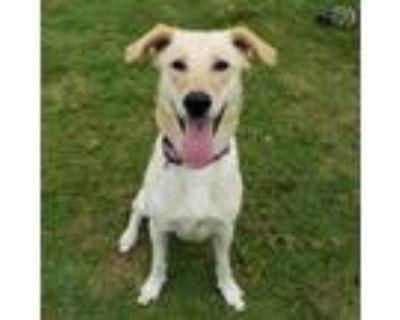Adopt Tanner a Yellow Labrador Retriever, Mixed Breed