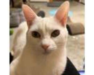 Adopt Lilith a American Shorthair