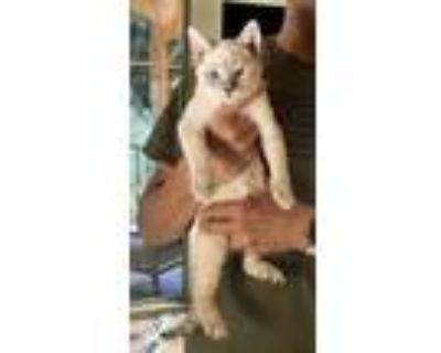 Adopt Othello a Spotted Tabby/Leopard Spotted Siamese cat in Calimesa